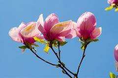 Fleurs de source d'une magnolia Photo stock
