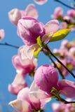 Fleurs de source d'une magnolia Photos stock