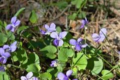 Fleurs de source dans la forêt Images stock