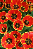 Fleurs de source dans le jardin 1 Photographie stock libre de droits