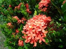 Fleurs de source dans le jardin thailand Photo libre de droits