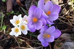 Fleurs de source dans un jardin. Images libres de droits
