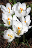 Fleurs de source dans un jardin. Image libre de droits