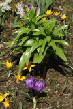 Fleurs de source dans un jardin. Photo libre de droits