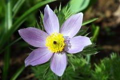 Fleurs de source dans un jardin. Photos libres de droits