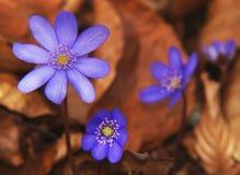 Fleurs de source de Hepatica Photographie stock libre de droits