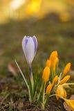 Fleurs de source de safran Photos stock