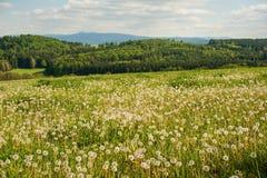 Fleurs de source du pissenlit field Photographie stock