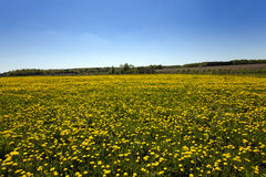 Fleurs de source du pissenlit field Photographie stock libre de droits