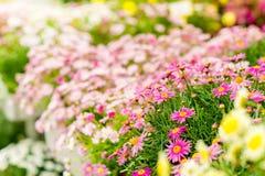 Fleurs de source en serre chaude de jardinerie Photographie stock