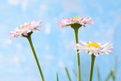 Fleurs de source, marguerites des prés images libres de droits
