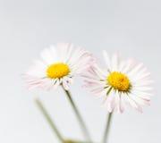 Fleurs de source, marguerites des prés blanches photo stock