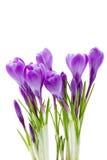 Fleurs de source, safran, d'isolement Images libres de droits