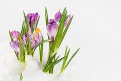 Fleurs de source, safran dans la neige Photos stock