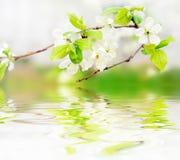 Fleurs de source sur le branchement sur des ondes d'eau Photo libre de droits