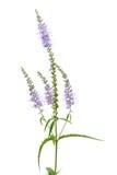 Fleurs de speedwell de bloc Photographie stock