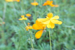 Fleurs de Starburst Photographie stock libre de droits