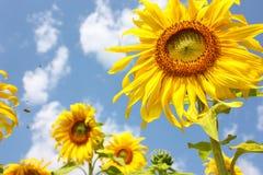 Fleurs de Sun Photos libres de droits
