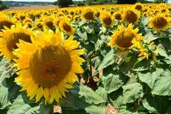 Fleurs de Sun Image libre de droits