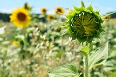 Fleurs de Sun Images libres de droits