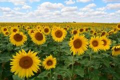 Fleurs de Sun Images stock