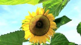 Fleurs de Sun Photographie stock