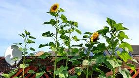 Fleurs de Sun sur un mur de jardin Image libre de droits