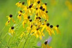 Fleurs de Susan Black-Eyed dans le sauvage Image libre de droits