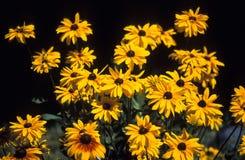 Fleurs de Susan observées par noir photographie stock libre de droits