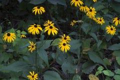 Fleurs de susan observées par noir en fleur Photographie stock