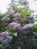 Fleurs de Syringa Photos libres de droits