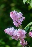 Fleurs de Syringa vulgaris sur un fond vert-foncé photo stock