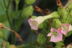 Fleurs de tabac photos stock