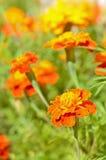 Fleurs de Tagetes dans le jardin Image stock