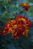 Fleurs de Tagetes de souci dans le jardin Photos libres de droits