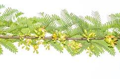 Fleurs de tamarinier Image libre de droits