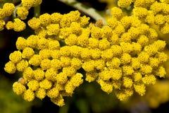 Fleurs de Tansy Image libre de droits