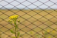 Fleurs de Tansy sur le champ Grille de barrière en métal Photo stock