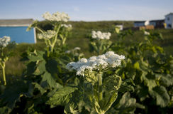 Fleurs de Terre-Neuve Image libre de droits
