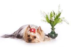 Fleurs de terrier et de muguet de Yorkshire photographie stock libre de droits