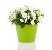 Fleurs de Terry de campanule Photographie stock libre de droits