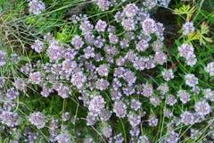 Fleurs de thym en nature Le thym est utilisé généralement dans la cuisine et en phytothérapie images stock