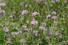 Fleurs de thym en nature Le thym est utilisé généralement dans la cuisine et en phytothérapie photo libre de droits