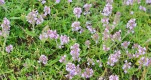 Fleurs de thym en nature Le thym est utilisé généralement dans la cuisine et en phytothérapie image stock