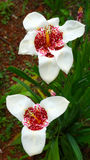 Fleurs de Tigridia photo stock