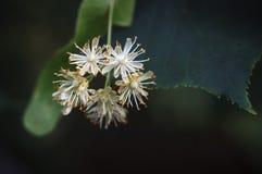 Fleurs de tilleul Photos libres de droits