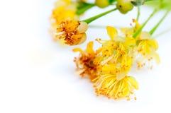 Fleurs de tilleul sur un fond blanc Image libre de droits