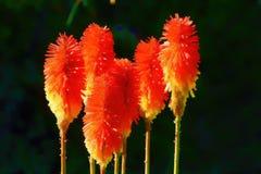Fleurs de tisonnier Images libres de droits