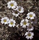 Fleurs de tomentosum de Cerastium Photos libres de droits