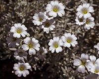 Fleurs de tomentosum de Cerastium Photos stock